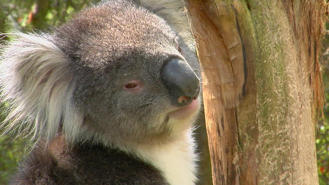A koala bear turns its head and looks around while... Stock Video Footage