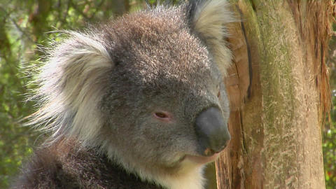 A koala bear turns its head and looks around while sitting in a tree Footage