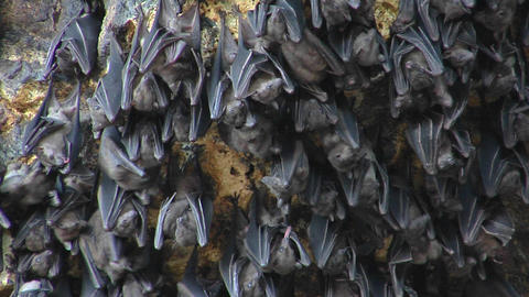 Close-up of bats on a wall at the Pura Goa Lawah Temple in Indonesia Footage