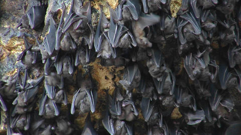 Close-up of bats on a wall at the Pura Goa Lawah Temple... Stock Video Footage