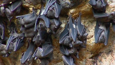 Bats hang on a wall at the Pura Goa Lawah Temple in... Stock Video Footage