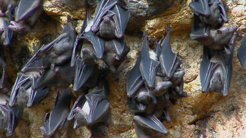 Bats hang on a wall at the Pura Goa Lawah Temple in Indonesia Footage