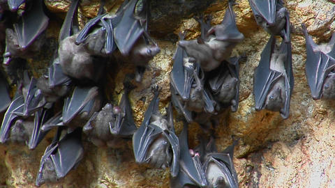 Bats hang on a wall at the Pura Goa Lawah Temple, also known as the Bat Cave Temple in Indonesia Footage