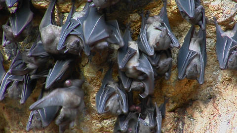 Bats hang on a wall at the Pura Goa Lawah Temple, also... Stock Video Footage