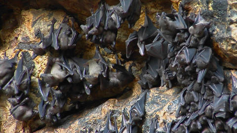 Groups of bats hang on a wall at the Pura Goa Lawah... Stock Video Footage