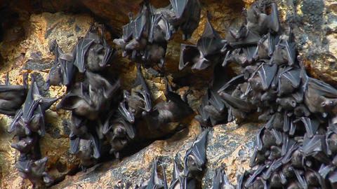 Groups of bats hang on a wall at the Pura Goa Lawah Temple, or the Bat Cave Temple in Indonesia Footage