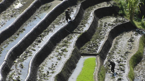 Farm workers hoe in terraced rice fields Footage