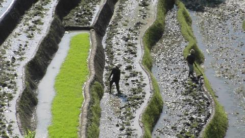 People work in a terraced rice field Stock Video Footage