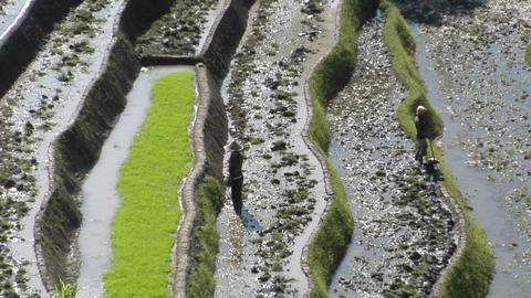 People work in a terraced rice field Footage