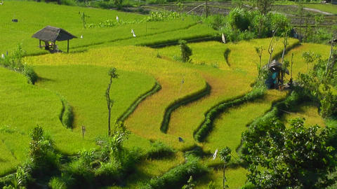 A breeze blows through a lush, terraced rice farm Footage