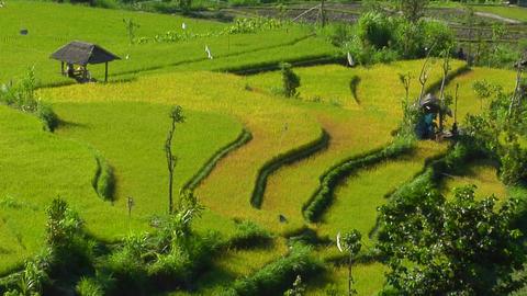 A breeze blows through a lush, terraced rice farm Stock Video Footage