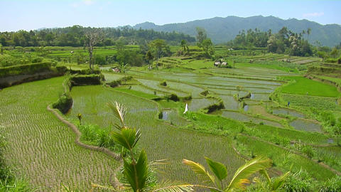 Rice grows on terraced fields in Bali Indonesia Stock Video Footage