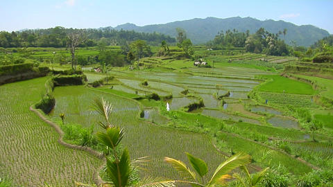 Rice grows on terraced fields in Bali Indonesia Live Action