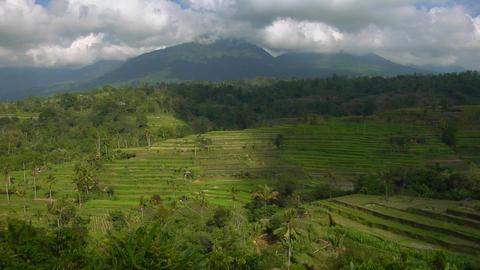 A terraced rice farm grows green fields Footage