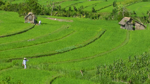 People work in a lush terraced rice field Stock Video Footage