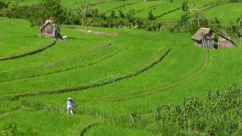 People work in a lush terraced rice field Footage