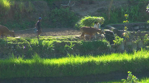 Workers lead cattle and bundle rice on a terraced rice farm Footage