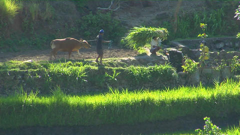 Workers lead cattle and bundle rice on a terraced rice farm Stock Video Footage