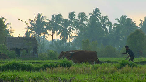 A worker uses oxen to pull a plow across a lush green rice field Footage