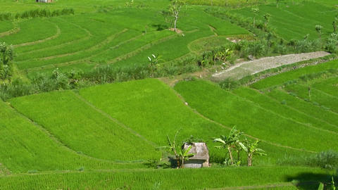 A breeze ripples rice plants in a large field Stock Video Footage
