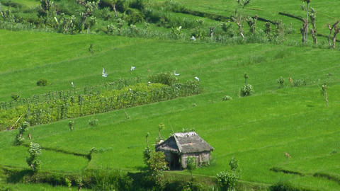Wind blows across a lush green terraced rice farm Stock Video Footage