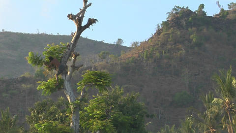 A man clears branches from a tall tree in a tropical forest Stock Video Footage