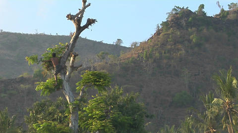 A man clears branches from a tall tree in a tropical forest Footage