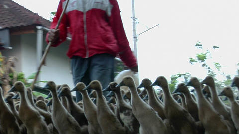 A man herds a gaggle of geese down the street of a village Stock Video Footage