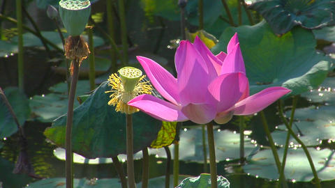 A water lily sits in a pond as insects hover around it Footage