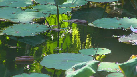 A petal floats past lily pads in a pond Footage