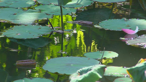 A petal floats past lily pads in a pond Stock Video Footage