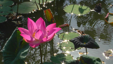 A water-lily bobs in a pond Stock Video Footage