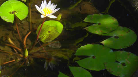 A lily and lily pads float in a pond Stock Video Footage