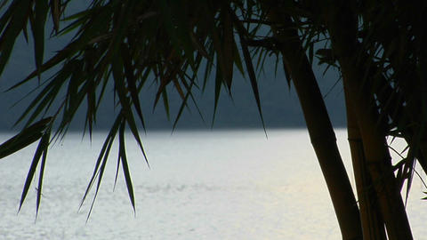 leaves of a bamboo tree blow in the breeze Stock Video Footage