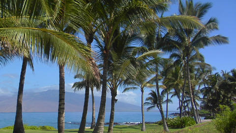 Palm trees grow along a beautiful stretch of beach in Hawaii Footage