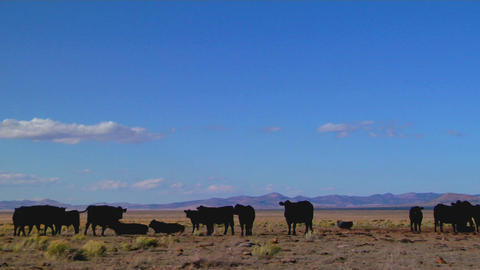 Pan to a satellite dish sits amongst cows in a desolate... Stock Video Footage
