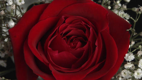 The center of a red rose in a bouquet surrounded by babies breath Footage