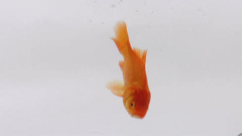 A goldfish swims from top to bottom of its bowl Stock Video Footage