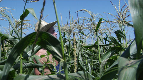 A man wears a hat and overalls as he walks through a corn... Stock Video Footage