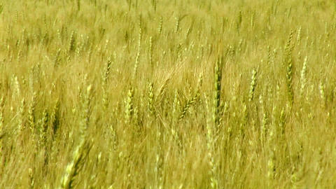 A wheat field waves in the breeze Stock Video Footage