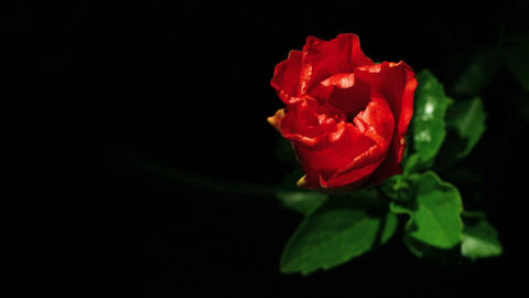 A red flower opens Stock Video Footage