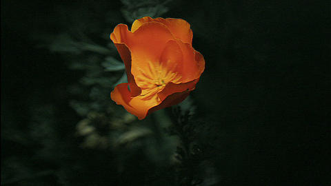 A golden poppy blooms Footage