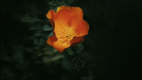 A golden poppy blooms Stock Video Footage