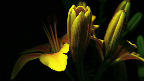 A yellow flower opens Stock Video Footage