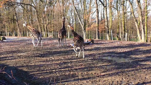 Group of giraffes in the zoo Footage