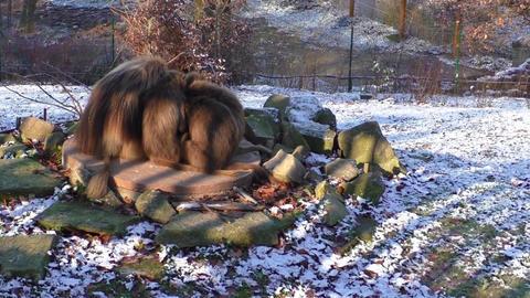 Monkeys in the zoo in winter, Czech Republic Footage