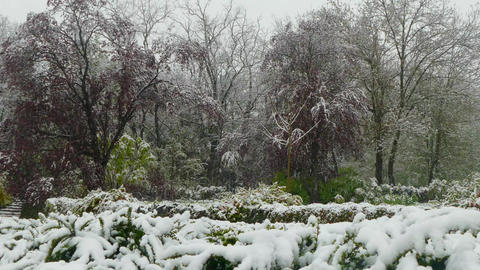 Spring flowering trees covered with snow during a snowfall Live Action