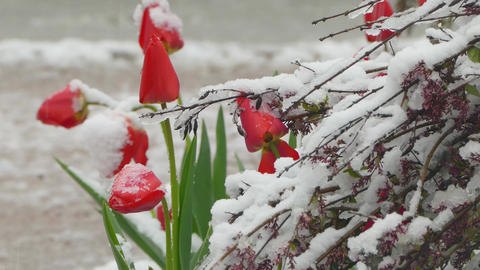 Red buds covered with snow Live Action