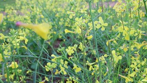 Mustard flower garden closeup. Summer Herbal flowers. Beautiful yellow flowers Live Action