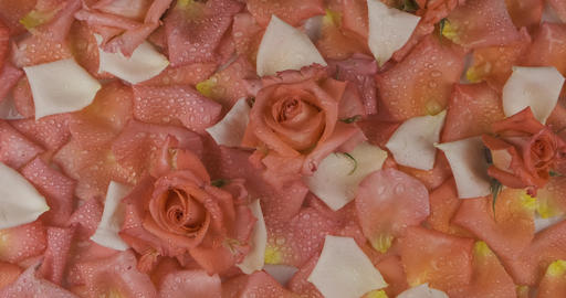 Zoom rose buds and rose petals with raindrops. Background of roses and petals Live Action